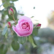 秋バラ プリンセス・クレア・ドゥ・ベルジック